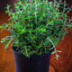 Marjoram in flower pot - PhotoDune Item for Sale