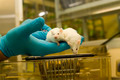 Laboratory mice - PhotoDune Item for Sale
