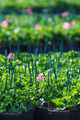 Rows of geranium plants in a greenhouse - PhotoDune Item for Sale