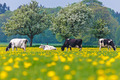 Dutch cows in a dandelion filled meadow in springtime - PhotoDune Item for Sale