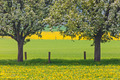 Blossoming trees in a dandelion filled meadow - PhotoDune Item for Sale