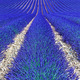 Lavender flower blooming fields as pattern or texture. Provence, - PhotoDune Item for Sale