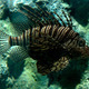 Tropical fish lionfish - PhotoDune Item for Sale