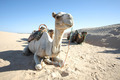 Camels in Sahar - PhotoDune Item for Sale