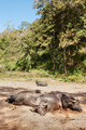 sleeping water buffalo - PhotoDune Item for Sale