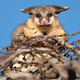 brush tail possum in tree - PhotoDune Item for Sale