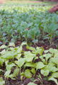 organic vegetables growing - PhotoDune Item for Sale