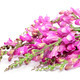 pink broom flowers - PhotoDune Item for Sale