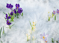 various saffron crocus flower blooms snow spring - PhotoDune Item for Sale