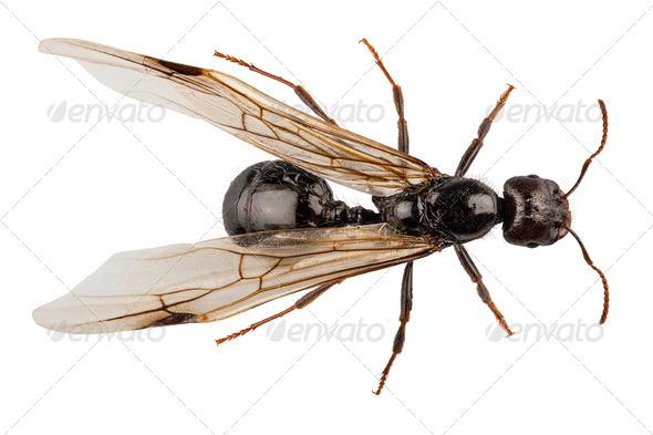 Lasius niger winged - Stock Photo - Images