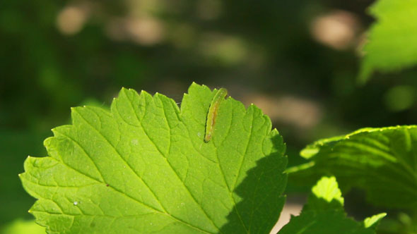 Worm on Leaves 2