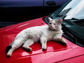 White cat lying on a red car 2 - PhotoDune Item for Sale