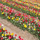Field of beautiful colorful tulips in the Netherlands - PhotoDune Item for Sale