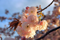 Cherry blossom - PhotoDune Item for Sale