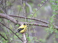American Goldfinch in Tree - PhotoDune Item for Sale