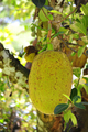 Jack fruit - PhotoDune Item for Sale