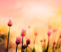Chives blossom - PhotoDune Item for Sale