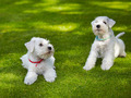white miniature schnauzer puppy - PhotoDune Item for Sale