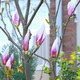 Blooming magnolia in a spring garden - PhotoDune Item for Sale