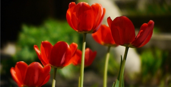 Wind Shakes Tulips 3