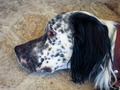 White and black head of dog - PhotoDune Item for Sale