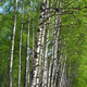 Beautiful spring birch - PhotoDune Item for Sale