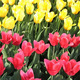 beautiful tulips background - PhotoDune Item for Sale