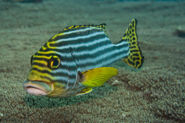 Oriental sweetlips. - Stock Photo - Images