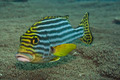 Oriental sweetlips. - PhotoDune Item for Sale