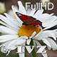 Butterfly on a Flower - VideoHive Item for Sale