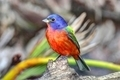 Male Painted Bunting - PhotoDune Item for Sale