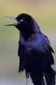 Boat-tailed Grackle - PhotoDune Item for Sale