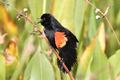 Male Red-winged Blackbird - PhotoDune Item for Sale