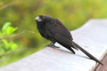 Smooth Billed Ani - PhotoDune Item for Sale