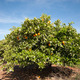 Orange Trees - PhotoDune Item for Sale
