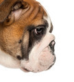 Close-up of an English Bulldog puppy profile, 3,5 months old, isolated on white - PhotoDune Item for Sale