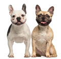 Two French Bulldogs, 3 years old, sitting and panting, isolated on white - PhotoDune Item for Sale