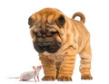 Shar Pei puppy looking down at a Hairless mouse, isolated on white - PhotoDune Item for Sale