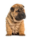 Shar Pei puppy, 2 months old, sitting, isolated on white - PhotoDune Item for Sale