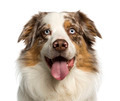 Close-up of a Australian Shepherd, 2 years old, panting, isolated on white - PhotoDune Item for Sale