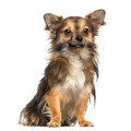 Chihuahua,1,3 year old, sitting, isolated on white - PhotoDune Item for Sale