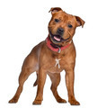 Staffordshire Bull Terrier, 9 months old with red collar, standing, isolated on white - PhotoDune Item for Sale