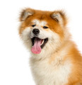 Close-up of Akita Inu, 1 year old, isolated on white - PhotoDune Item for Sale