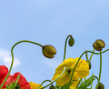 Beautiful  poppies on the blue sky background - PhotoDune Item for Sale