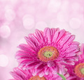 pink gerbera background with bokeh effect - PhotoDune Item for Sale