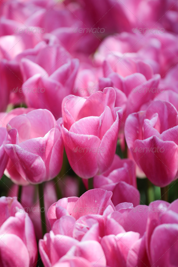 Pink tulips in the garden - Stock Photo - Images