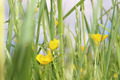 Buttercups on a spring meadow - PhotoDune Item for Sale