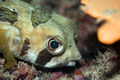 Tropical fishPorcupinefish - PhotoDune Item for Sale