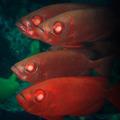 Cardinalfishes - PhotoDune Item for Sale