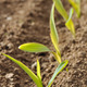 row of seedlings of corn - PhotoDune Item for Sale